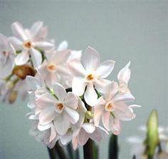 Narcissus Paperwhite 1
