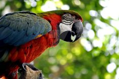 Comments: Beautiful bird, he was being a show off too. Animal: Blue and Gold (I think) Macaw Photo Location: Rosamond Gifford Zoo Camera/Lens: Nikon D5000/55-200mm Thank you in advanced for any com...