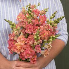 Carnation Enfante-de-Nice Mix Seed Delightful Scented Cut Flower Good Vase Life