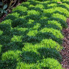 Irish and scotch moss
