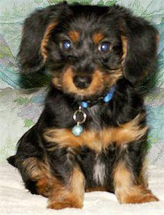 Dorkie.... Dachshund/Yorkie...I want!