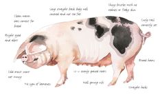 Raising pigs for pork, plowing and more