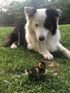 Dog Is Completely Obsessed With Looking After His Tiny Duck