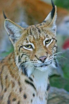 Eurasian lynx (Lynx lynx) Photo Dragan Bosnic (by IUCNweb)