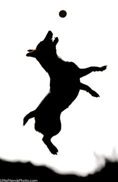Jack Russell silhouette