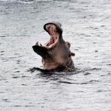 Artist: Engela Vermeulen   metal posters - Displate #Hippo #Water #SouthAfrica #StLuciaWetlands #Nature #BigTeeth