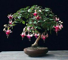 I cannot pass up the chance to show a Fucia Bonsai !!! Vines really are excellent Bonsai material. They are flexible, so limitless training potential! They grow quickly, so they will also be fast Bonsai results. They are usually easy to care for and work with as well! There are many flowering choices in vines. I am good with tropicals so I stay away from ivy, which like a whole lot less watering.