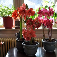 How to grow indoor-blooming amaryllis and care for them.
