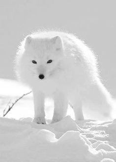 A bela raposa do ártico, o pelo dela normalmente é cinza e fica branco no inverno boreal para servir de camuflagem na neve,