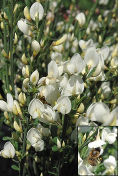 CYTISUS x praecox 'Albus' Climbers, Clematis, Shrubs, Flower Power, Trees, Garden, Flowers, Plants, Lawn And Garden