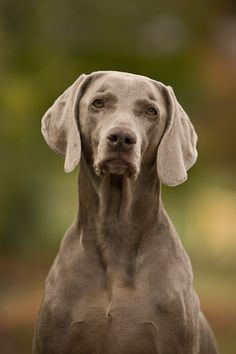 One day, I'll have a weimeraner. One of the kindest, smartest, and most stunning dog breeds.