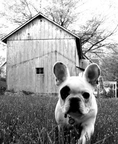 Now that's a cool French bulldog!