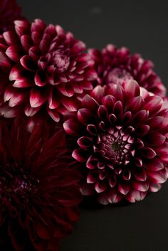 Deep Red Dahlias...I LOVE Dahlias! So pretty and easy to grow.
