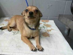 SAFE --- #A474912 Release date 10/30 I am a female, brown Chihuahua - Smooth Coated mix. Shelter staff think I am about 1 year old. I have been at the shelter since Oct 23, 2014.  http://www.petharbor.com/pet.asp?uaid=SBCT.A474912 ...City of San Bernardino Animal Control-Shelter. https://www.facebook.com/photo.php?fbid=10203814326936194&set=a.10203202186593068&type=3&theater