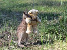 Orphaned Baby Kangaroo Just Wants To Hug His Teddy Bear