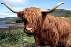 The Highland cattle.