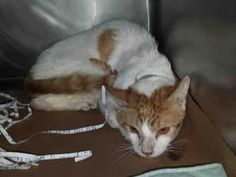"""ALEX - A1079584 - - Brooklyn  Please Share:   **TO BE DESTROYED 07/20/16** HOARDED, then taken to the ACC, tonight's crowded At-Risk List contains four of seven cats who used to be owned by someone who just couldn't say """"no"""" to one more cat. Please read their biographies carefully, because CASEY, BOBBI, ALEX and GINA each have a unique story. GINA and BOBBY are making their first appearance on the At-Risk List tonight, and there is NO guarantee they"""