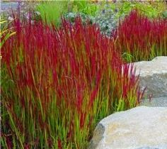 Imperata cylindrica Red Baron - Pack of 3 Japanese Blood Grasses