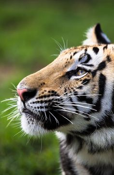 Tigre <3 <3 <3