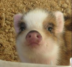 Florida Micro Miniature Teacup Piglets for Sale - Florida Mini Pigs… Cute Baby Pigs, Cute Piglets, Cute Baby Animals, Funny Animals, Farm Animals, Baby Piglets, Teacup Pigs For Sale, Mini Pigs For Sale, Miniature Pigs For Sale