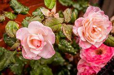Art rose - null