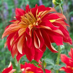 The huge, dinner-plate-size blooms of 'Nick Senior' dahlia provide a welcome blast of color in the late summer border. Its vibrant red blooms with white-tip petals also make terrific cut flowers for indoor bouquets! http://www.bhg.com/gardening/gardening-trends/new-annuals-for-2015/?socsrc=bhgpin041415nickseniordahlia&page=7