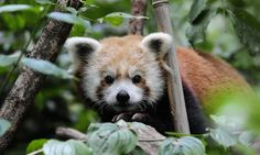 The 1-year-old male red panda was previously at the Oklahoma City Zoo. Now Biru can be found with his female companion Amaya in the trees of the zoo's Temperate Territory. The Bronx Zoo and the Prospect Park Zoo also have red pandas.
