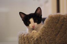 curious tuxedo kitten Tuxedo Kitten, Foster Kittens, The Fosters, Animals, Animales, Animaux, Animal, Animais