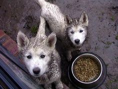 If there's mud, a husky will find it. #siberianhusky