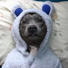 Cute pitbull after bath time