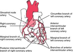 Heart coronary artery system diagram the exterior of the heart heart coronary artery system diagram view of the coronary arterial system the arteries serving ccuart Images