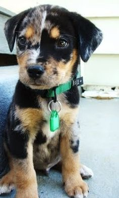 Catahoula Leopard Puppy coolest looking dogs ever