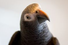 Our Timneh African Grey Parrot Tillie: Study of a Parrot in Motion: