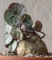 Native to South Africa, Swaziland, & Zimbabwe. Succulent Bonsai, Succulent Gardening, Cacti And Succulents, Planting Succulents, Cactus Plants, Planting Flowers, Weird Plants, Unusual Plants, Rare Plants