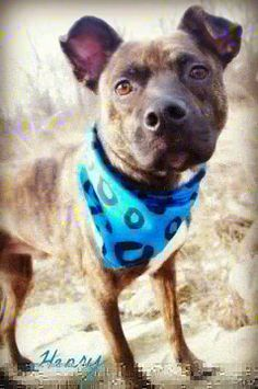 HENRY...YOUNGSTOWN, OHIO...Meet 286 // HENRY // 4 a Petfinder adoptable Cattle Dog Dog   Youngstown, OH   Available on: 4/5Henry (ID #286) is a handsome young male cattle dog mix found as a stray. He is...