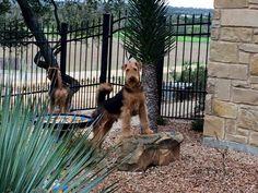 KING Of Terriers!