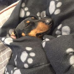 Hehe. Doxies love their sleeping bags! More
