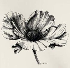 Poppy flower pen and ink illustration for non. Pencil Drawings Of Nature, Ink Pen Drawings, Nature Drawing, Plant Drawing, Flower Pencil Drawings, Poppy Drawing, Drawing Hair, Ink Illustrations, Pencil Illustration