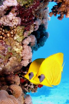 Called Masked or Golden Butterflyfish