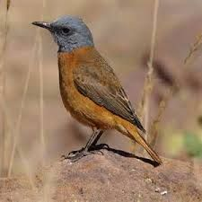 Image result for cape rock thrush Garden Birds, African Animals, South Africa, Westerns, Cape, Rock, World, Animales, Mantle