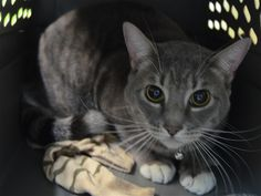 OLIVER - 17196 - - Brooklyn ***TO BE DESTROYED 01/04/18***TERRIFIC TABBY WITH WHITE SOCKS NEEDS YOU! FIV POSITIVE – Oliver is a sweet neutered male that was surrendered by his owner. Please consider helping OLIVER by opening up your heart and home. Oliver is only two and don't be deterred by FIV + status. Can lead a long, happy and healthy life with or without other FIV+ felines. Give this friendly guy a chance. MUST BE RESERVED BY NOON TOMORROW! - Click for