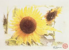 Flower of Sunflower where my signature and the stamp were in