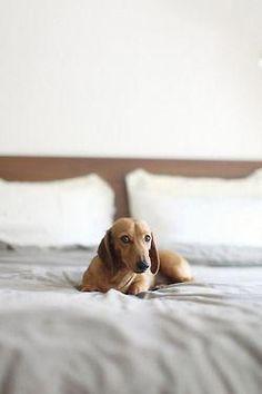 I Will Have A Dachshund Hound Named Bo