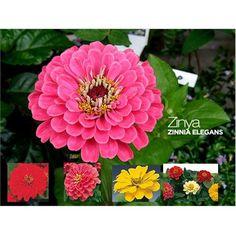 Zinnia Elegans - Summer Plant