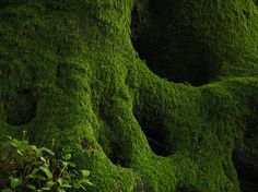 Mossy Roots of Beech Tree by elhawk - Dave Pearson. i see a skull.