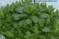 Haworthia obtusa x cooperi - Chubby bright green closely packed rosettes. If you look at this plant, you can see little windows in the leaves where the light enters to be photosynthesized