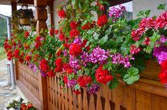 Deşi nu tot atât de faimoasă ca alte specii de plante cu flori, muşcata este, totuşi, una dintre cele mai populare flori de la noi din ţară, fiind foarte răspândită în locuinţele noastre, împodobind ferestrele şi balcoanele. Popularitatea acestei flori se explică atât prin faptul că este total nepretenţioasă la condiţiile de uscăciune atmosferică din interioarele noastre, cât şi datorită abundenţei înfloririi – aceasta în cazul speciilor decorative prin florile lor. Patio Plans, Special Flowers, Unique Gardens, Garden Photos, Flower Boxes, Beautiful Roses, Container Gardening, Vegetable Gardening, Gardening Tips