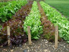 Successful cultivation of lettuce
