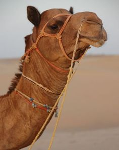 Camel *one of my favorite animals*