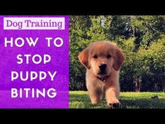 An Kety Pet Care. Get Your Dog Trained Today With These Simple Tips. Training your dog is important for an obedient relationship between you and your canine friend. During the training process, you and your dog will experien Stop Puppy From Biting, Puppy Biting, Blue Merle, Yorkie Puppy, New Puppy, Schnauzer Puppy, Goldendoodle, Training Your Puppy, Dog Training Tips